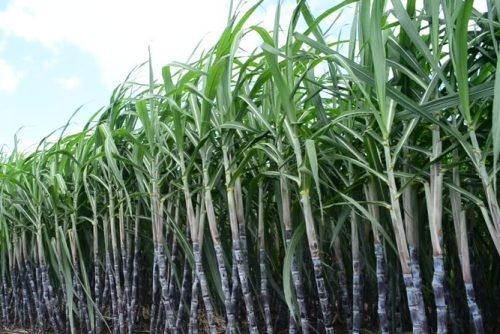 Government Should Consider Scheme To Purchase Sugarcane Harvesting ...